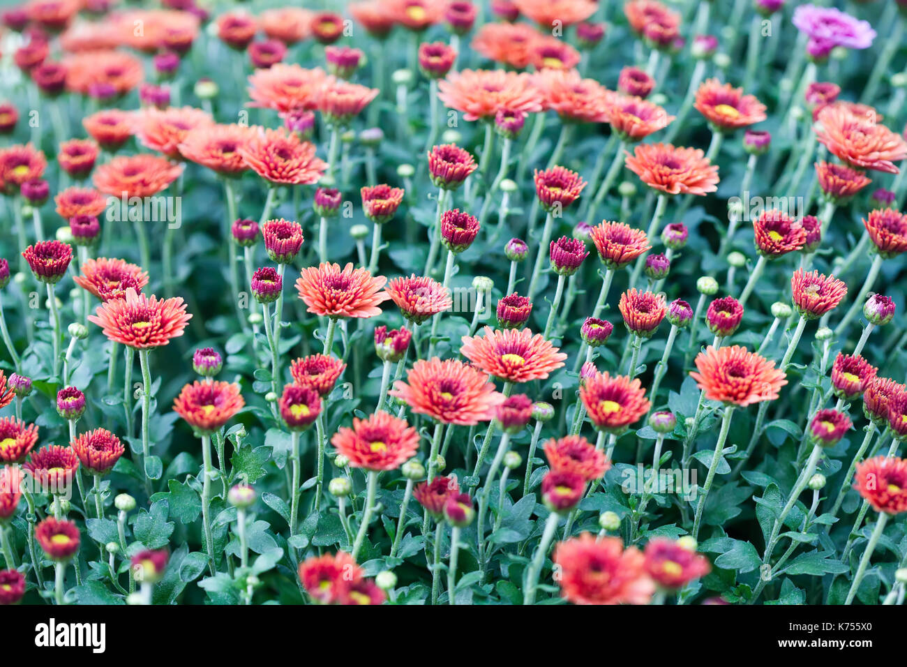 Red chrysanthemum flowers field background. Floral still life with many colorful mums. Selective focus photo - Stock Image