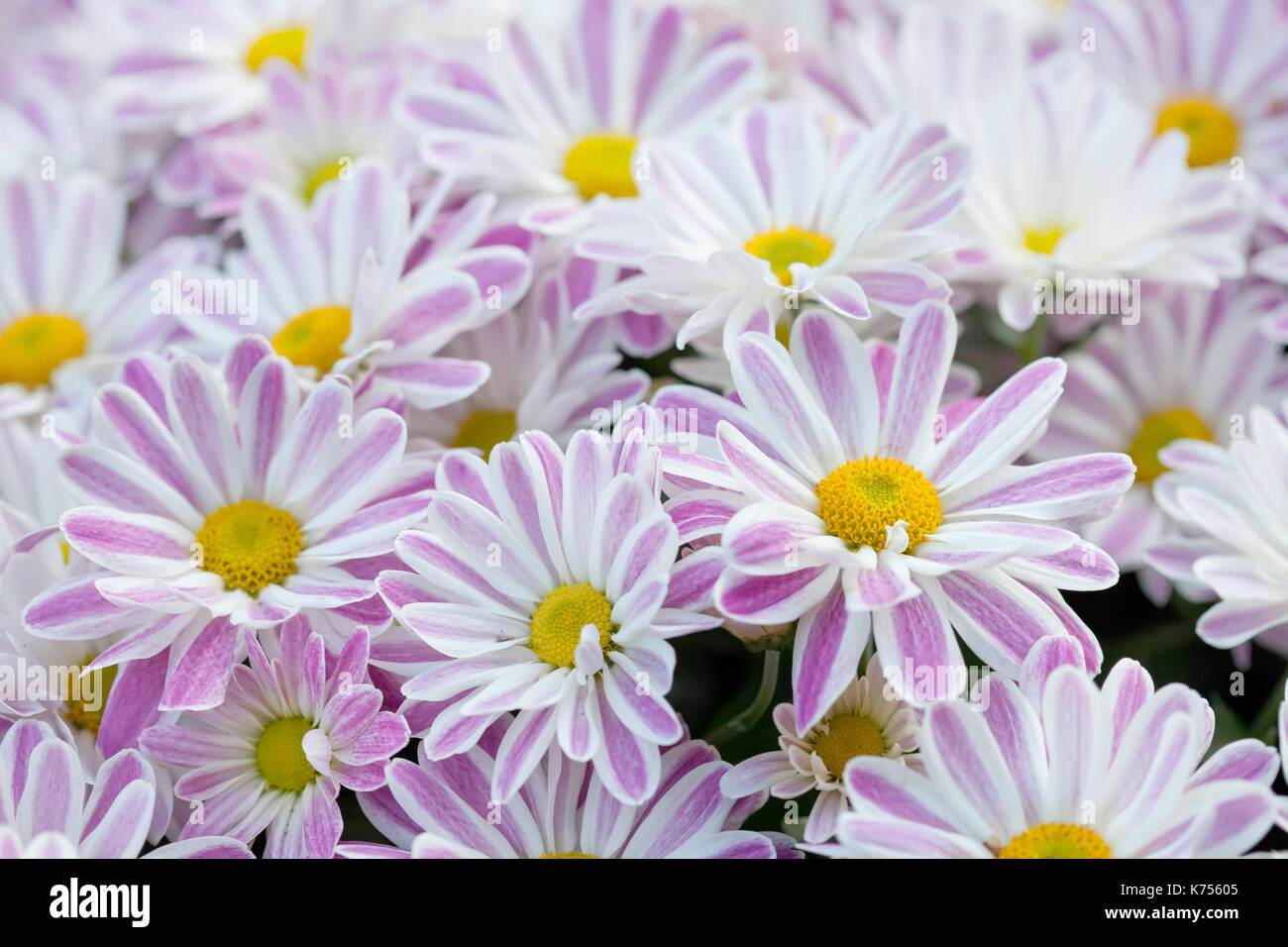 Violet chrysanthemums floral background. Colorful white pink yellow mums flowers close-up photo. Selective focus - Stock Image
