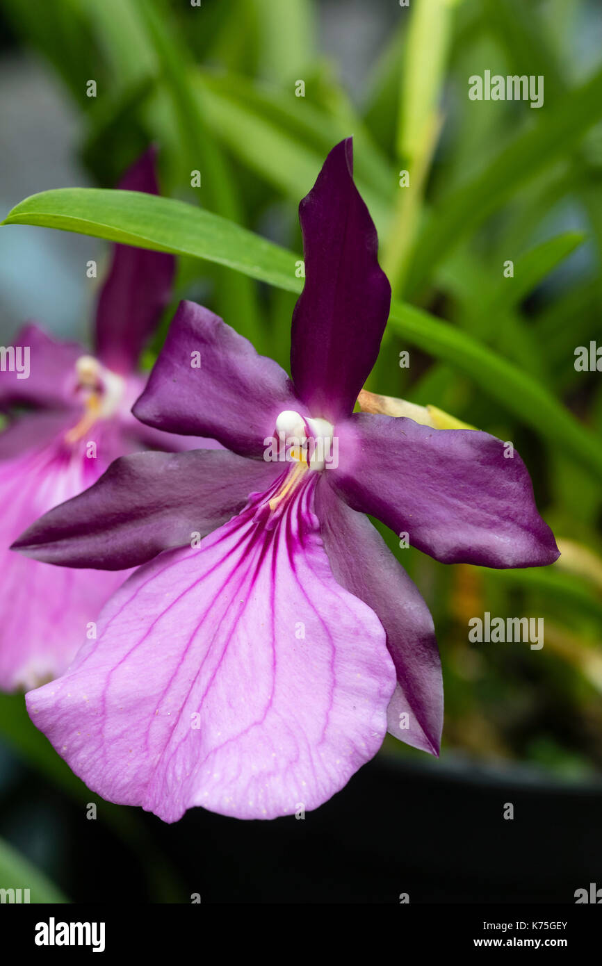 Purple and pink flower of the Brazilian epiphytic orchid, Miltonia spectabilis var. moreliana - Stock Image