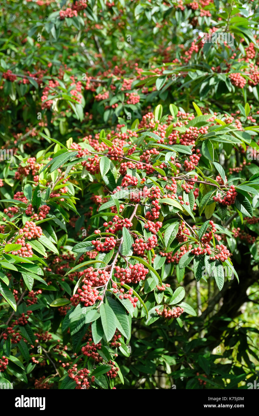 Red Berries Cotoneaster Shrubs In Early Autumn In The Uk Stock