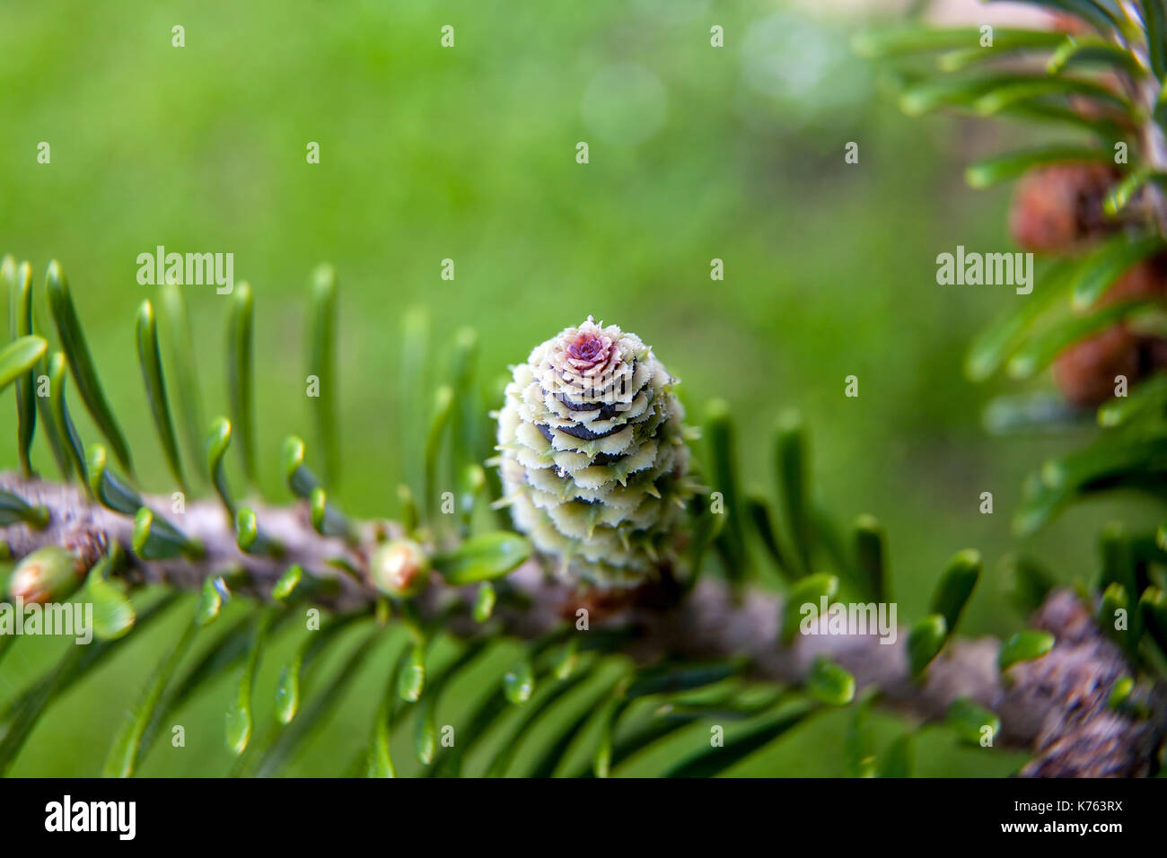 Rare conifers: Korean fir. Cones of the fir. Macro - Stock Image