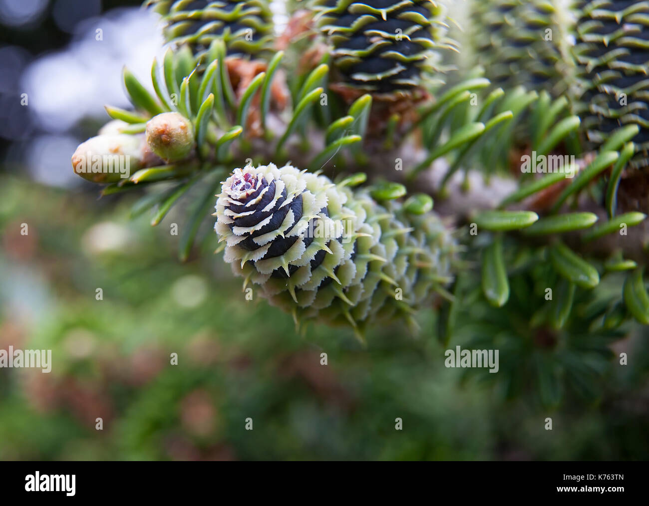 Rare conifers: Korean fir. Cones of the fir. Macro - Stock Image
