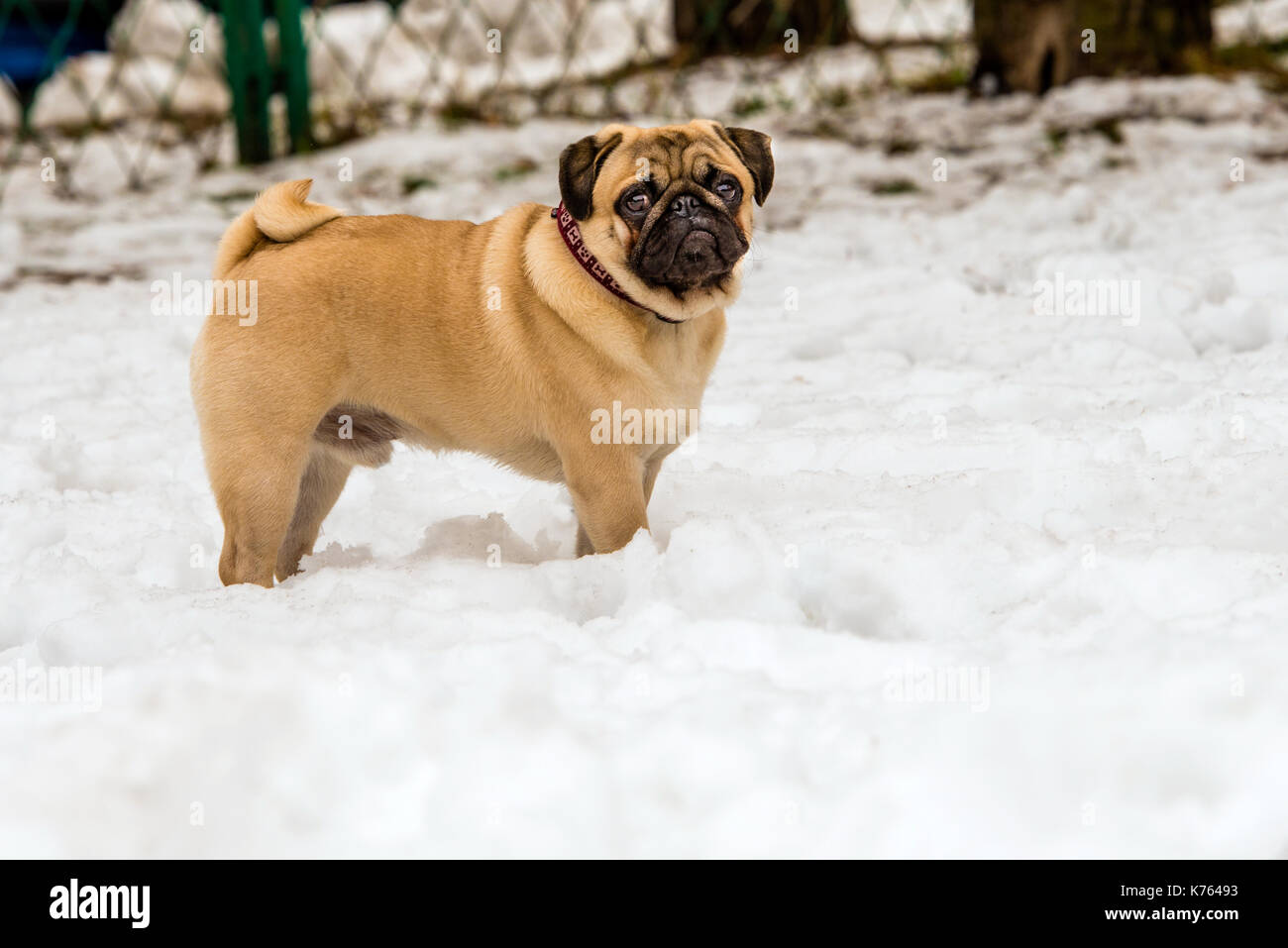 Pug in snow.  Pug is in the snow in the park. Stock Photo