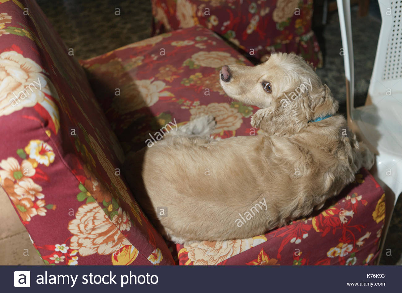 Lola, mostly cocker spaniel, looking dubious on a red floral slip covered couch - Stock Image