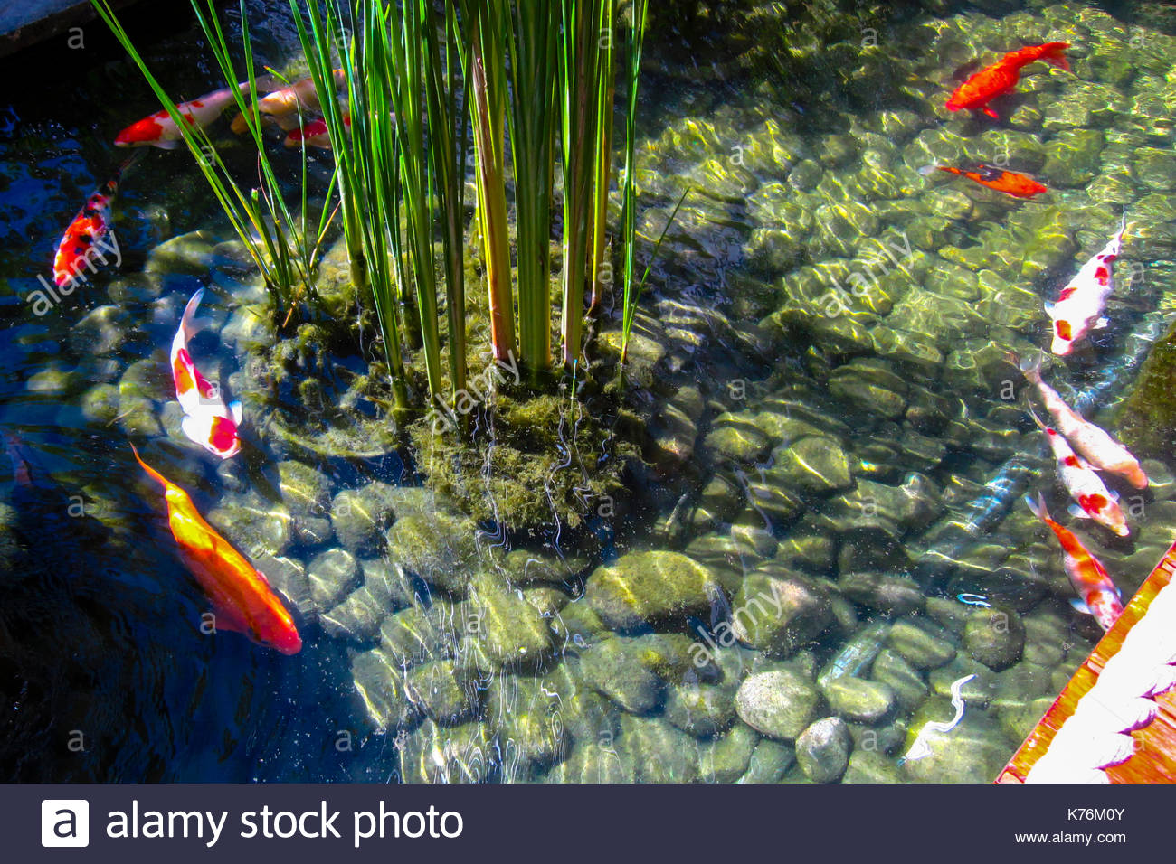 Colorful Koi fish swimming and open mouth waiting for food in a pond can be use
