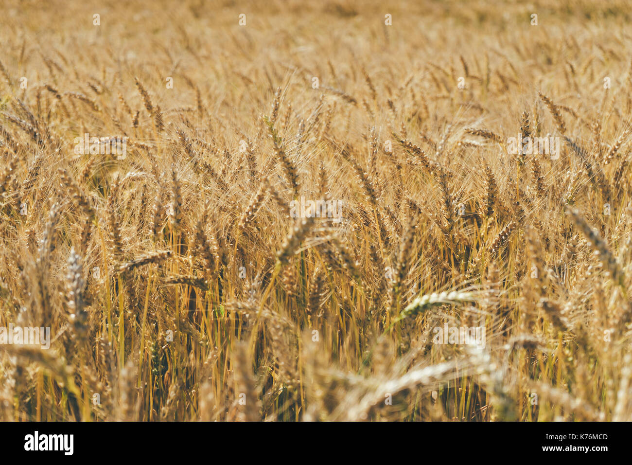 Closeup on organic golden ripe ears of cereal culture in field, agriculture background Stock Photo
