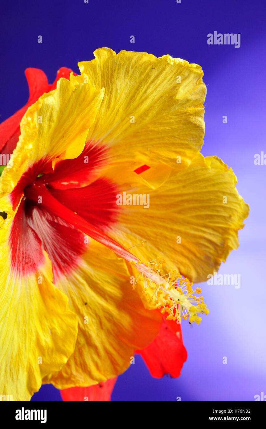 Hawaii state flower stock photos hawaii state flower stock images yellow hibiscus is the hawaii state flower since 1988 stock image izmirmasajfo