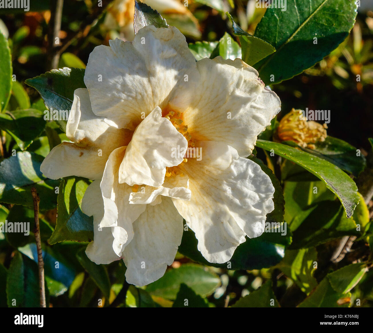 White camellia flowers blooming at japanese garden in autumn close white camellia flowers blooming at japanese garden in autumn close up mightylinksfo