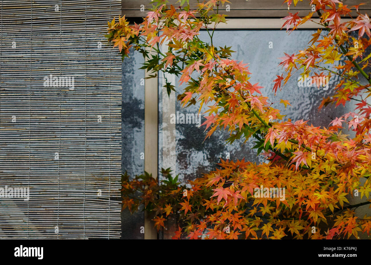 Maple leaves with bamboo curtain for traditional house decoration in Japan. - Stock Image