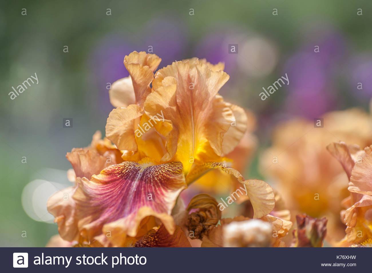 Tall Bearded Iris Autumn Leaves In Garden In Sunny Day Flower Stock