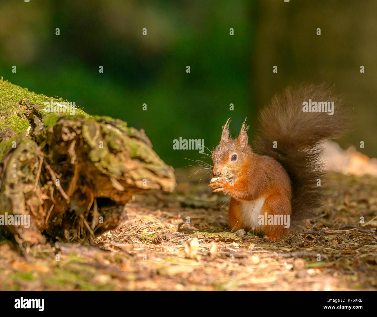 Red Squirrel during daylight/sunshine Brownsea Island/Poole/Hampshire/Southern England/UK/British Isles - Stock Image