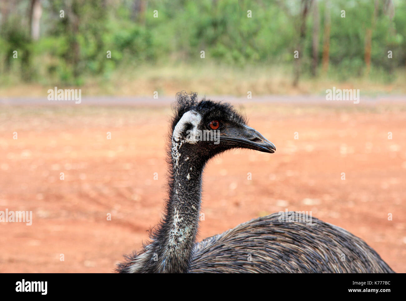 Wild Emu found in Australia where it is the largest native bird - Stock Image