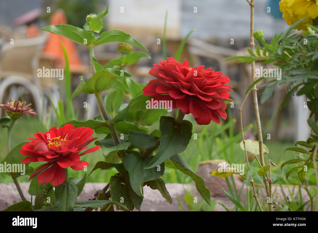 Red Flowers captured by a Nikon D5300 - Stock Image