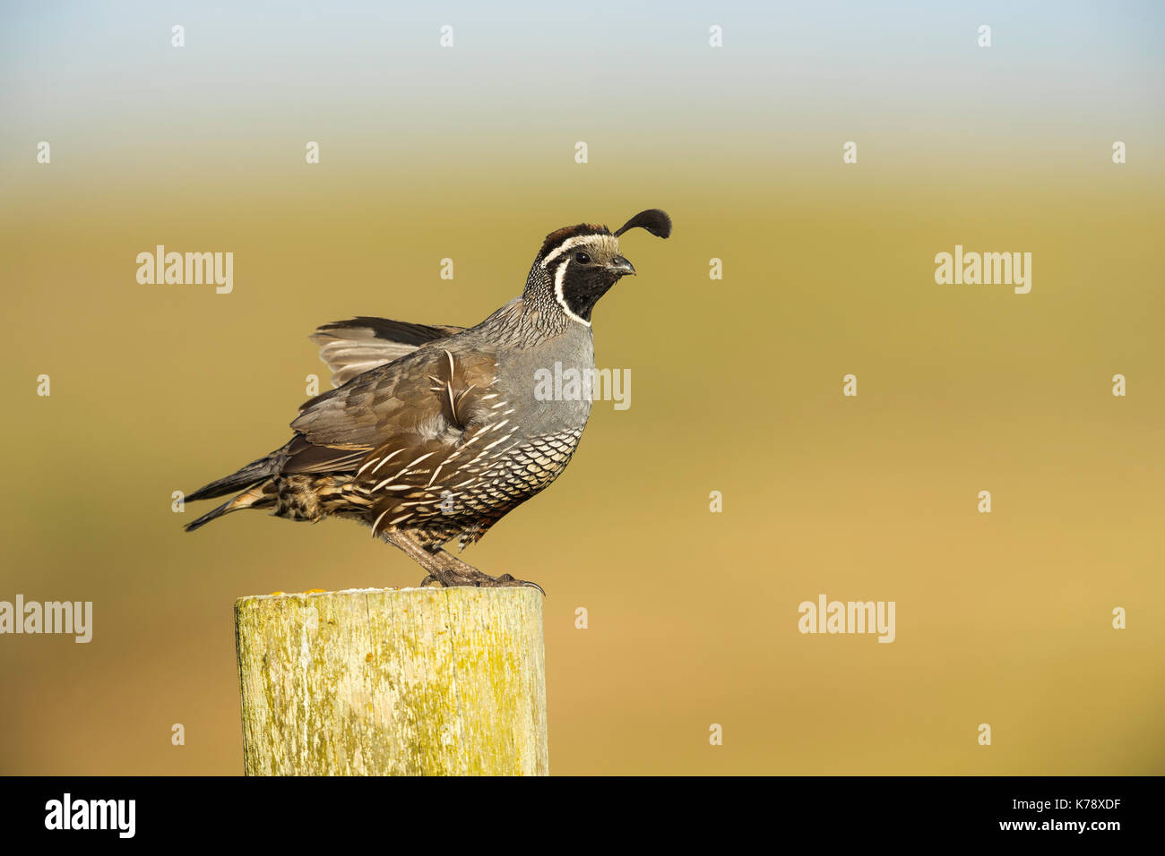Adult male California Quail posing on the fence post along the road in the Point Reyes National Seashore, California - Stock Image