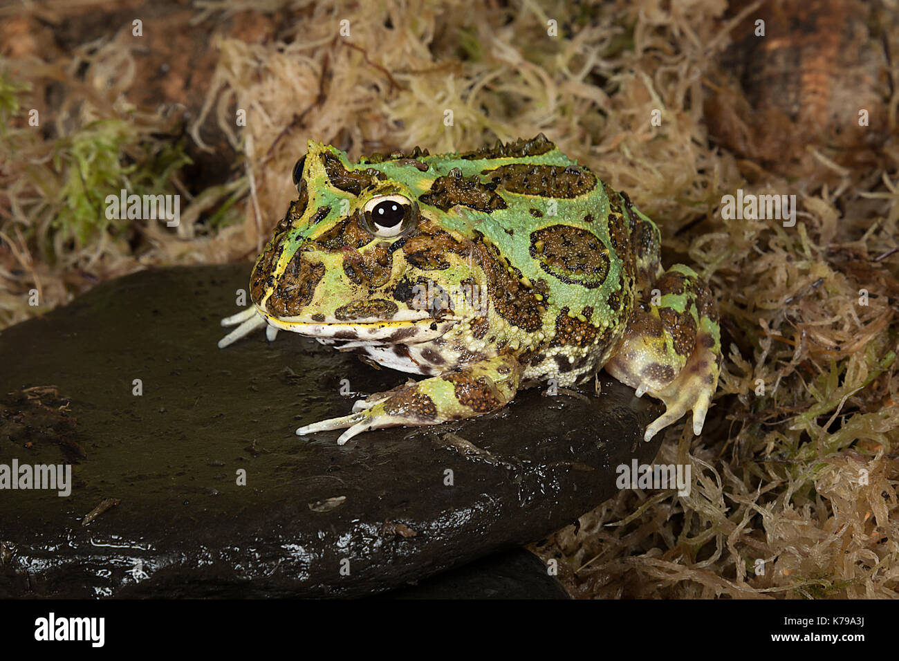 full length portrait of a bull frog sitting on a pebble by a pond edge - Stock Image
