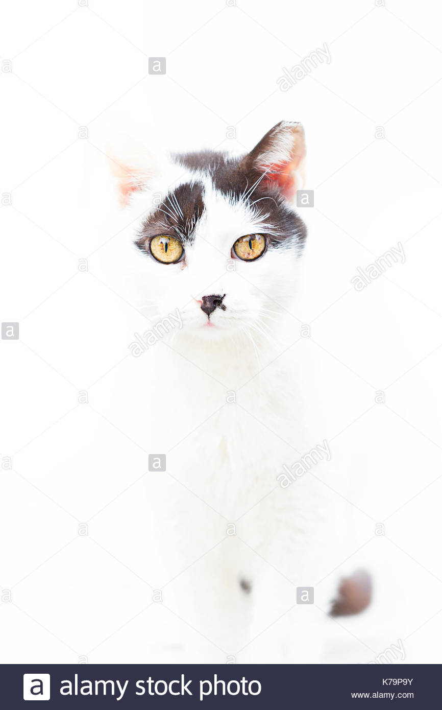 Portrait of a white and gray cat on white background - Stock Image