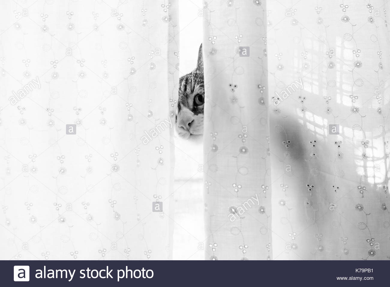Cat hides behind a curtain - Stock Image