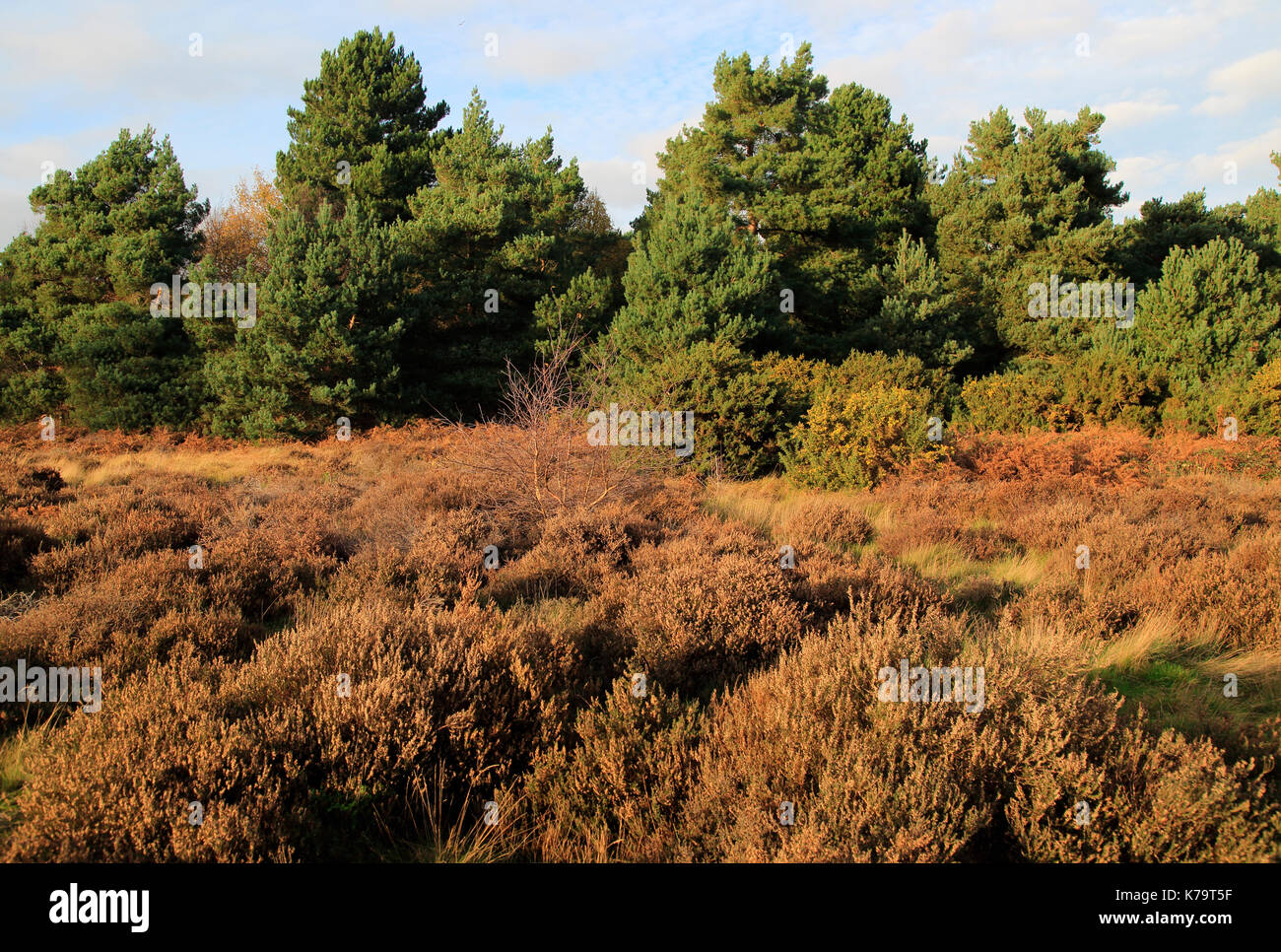 Coniferous trees and heather plants Sandlings heathland, Sutton Heath Suffolk, England, UK - Stock Image