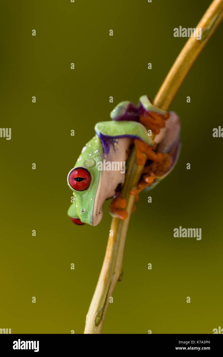 Callidryas or Red Eyed Green Tree Frog from Costa Rica Stock Photo