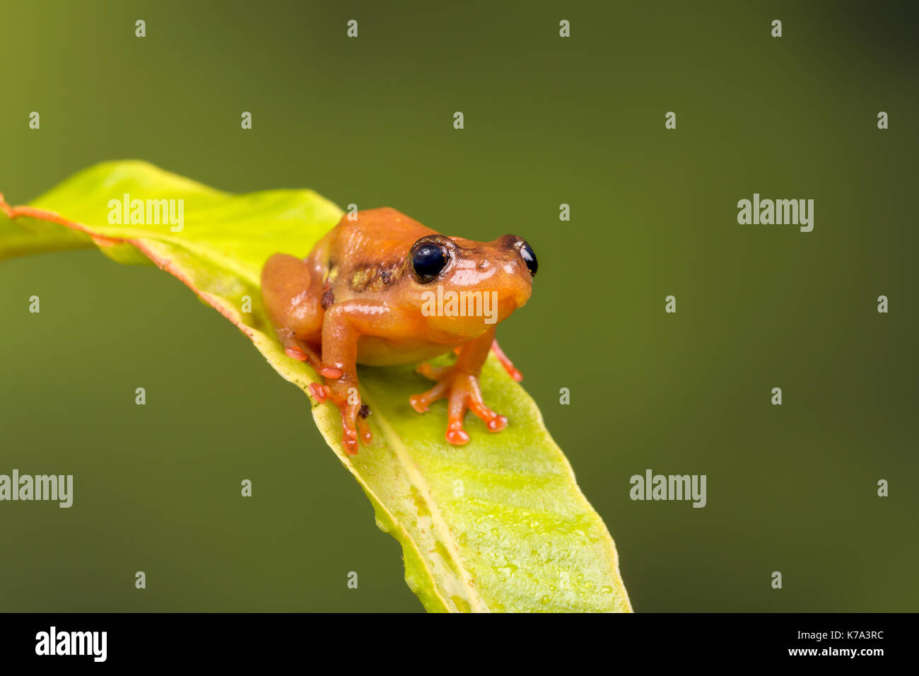 Bright orange golden sedge frog sitting on a green leaf - Stock Image