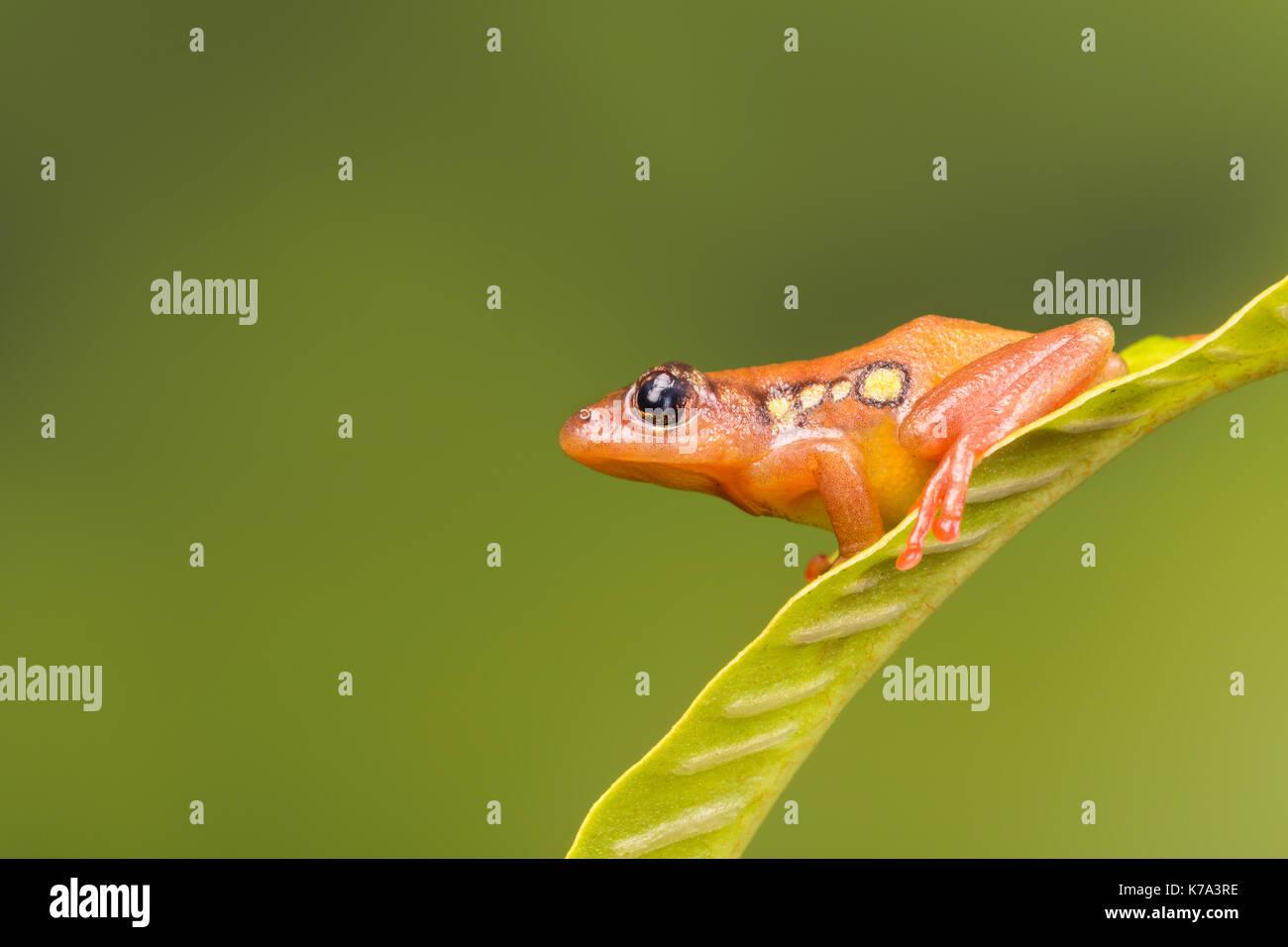 Bright orange golden sedge frog sitting on a green leaf - Stock Image