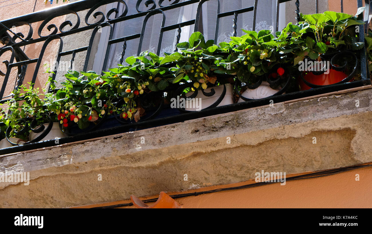 Strawberry plant with fruits in a row of pots on a balcony garden with bright wall. - Stock Image