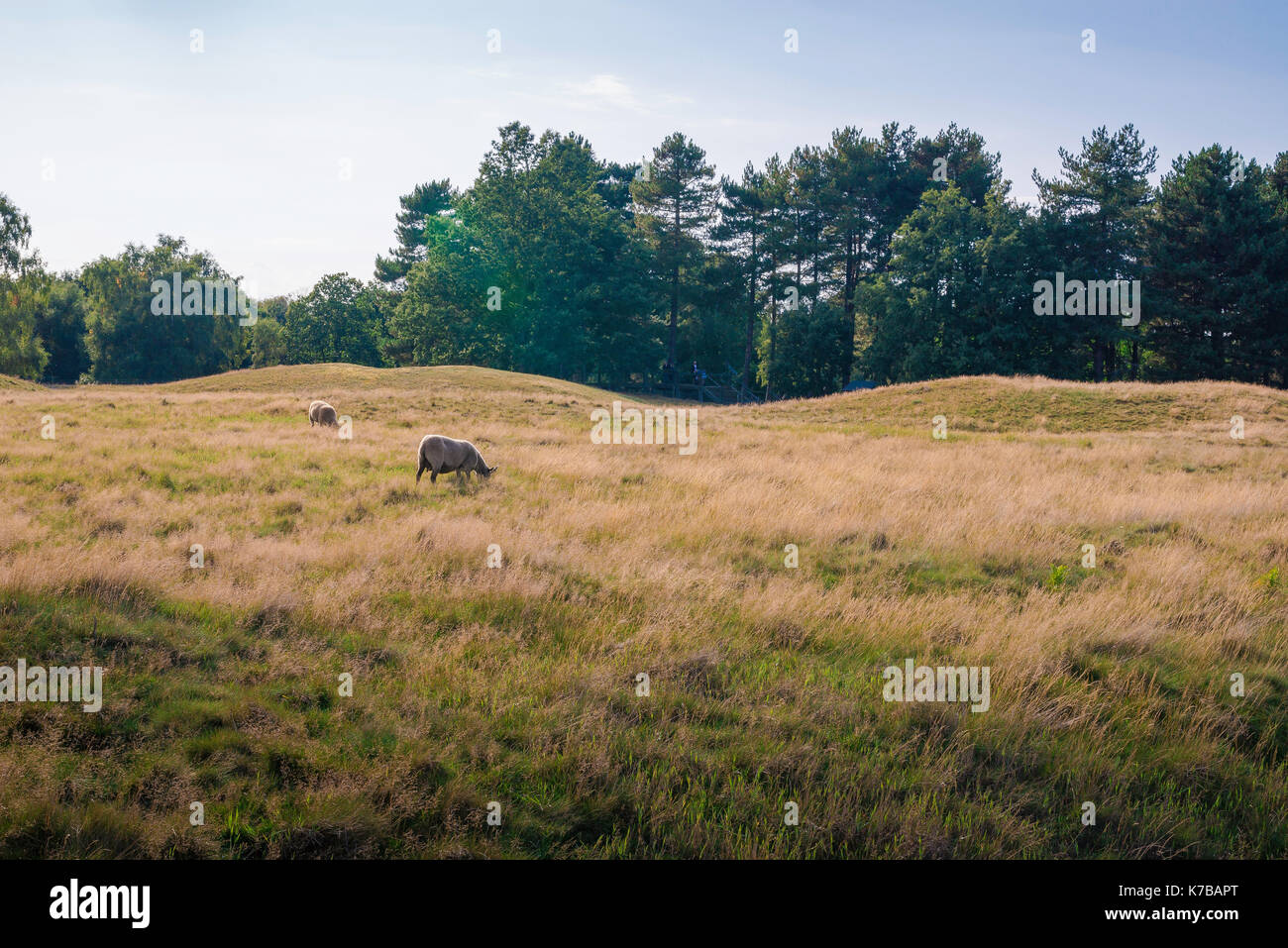 Sutton Hoo, sheep graze near a series of low-lying Anglo Saxon burial mounds at Sutton Hoo, Suffolk, UK. - Stock Image
