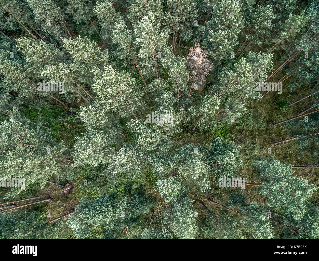 Coniferous forest, aerial photo with the copter, vertically down, abstract effect - Stock Image