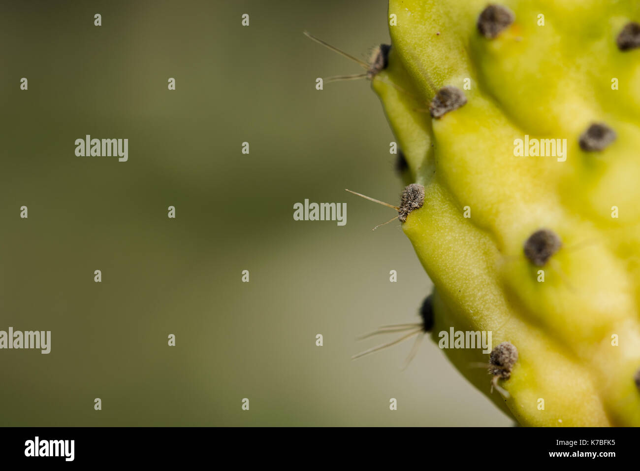The edible yellow fruit of a prickly pear plant or Indian fig, Opuntia ficus-indica, full with thorns, found in the Maltese countryside, Malta - Stock Image