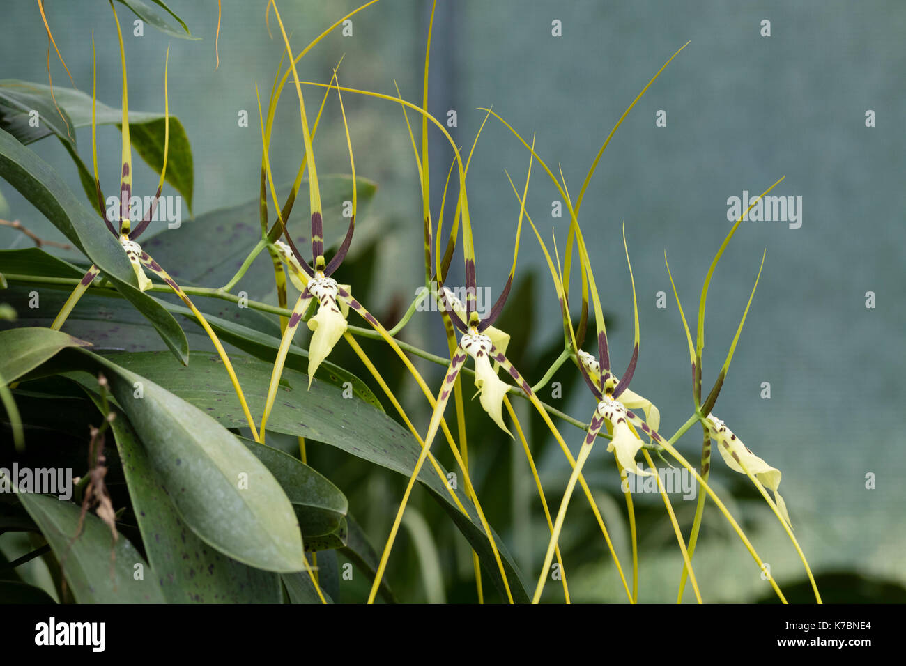 Spidery flowers in the spike of the hybrid orchid, Brassia Edvah Loo gx 'Vera Cruz' - Stock Image