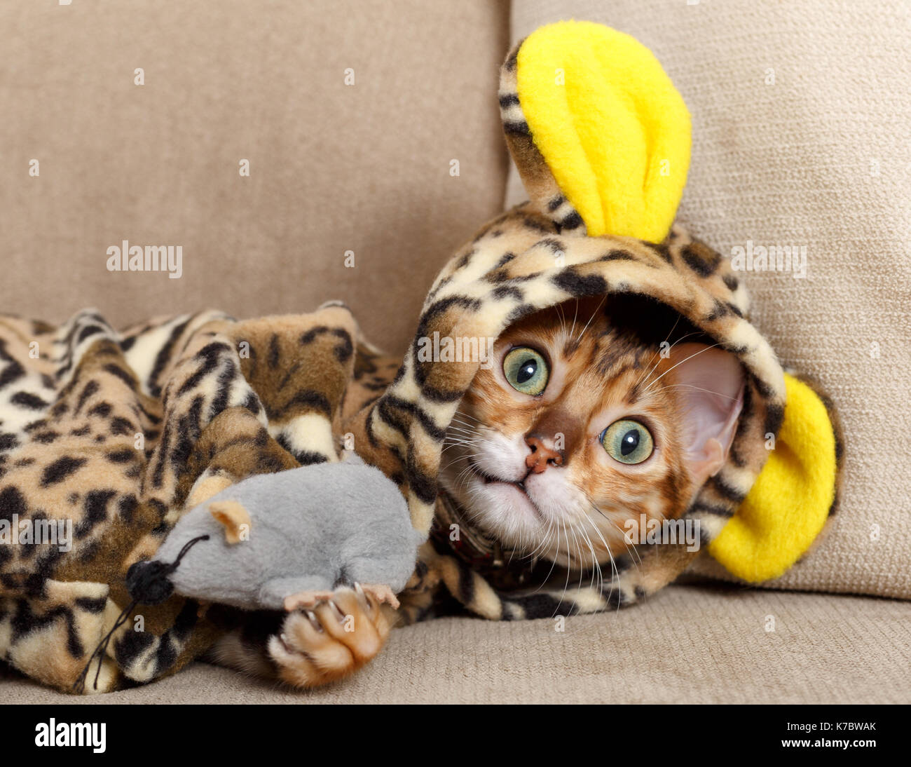 Female Bengal cat kitten on sofa in leopard costume playing with a toy mouse  Model Release: No.  Property Release: Yes (cat). - Stock Image