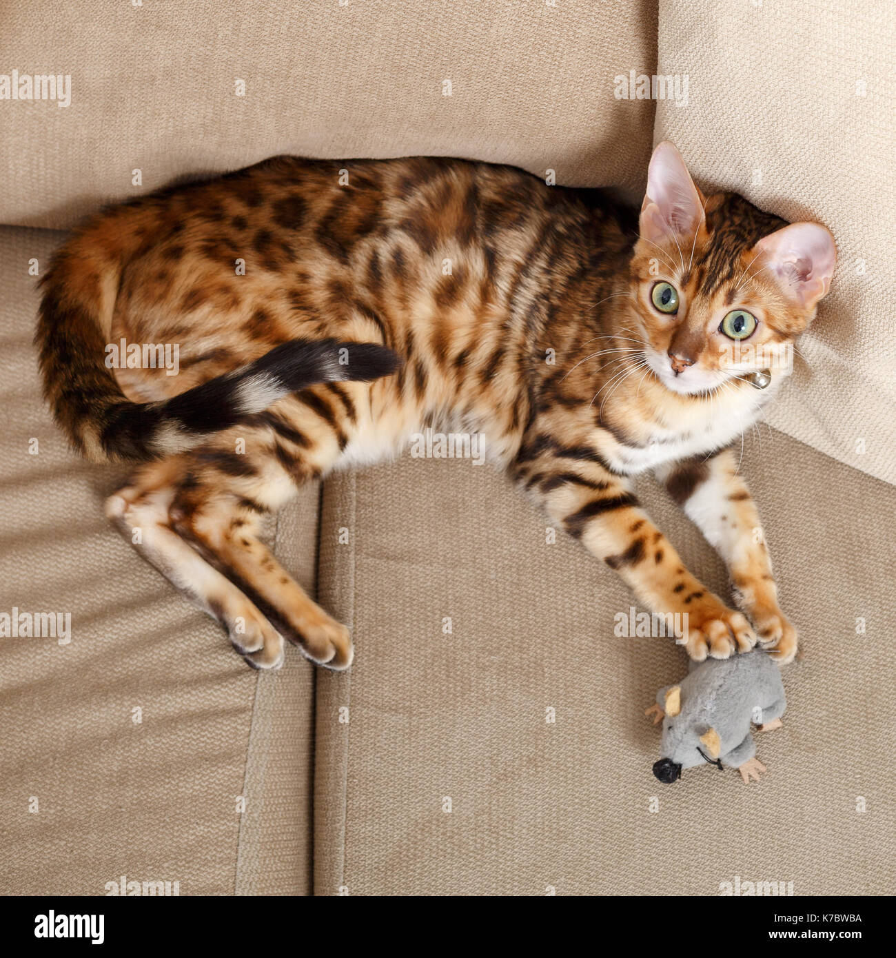 Female Bengal cat kitten on sofa playing with a toy mouse  Model Release: No.  Property Release: Yes (cat). - Stock Image