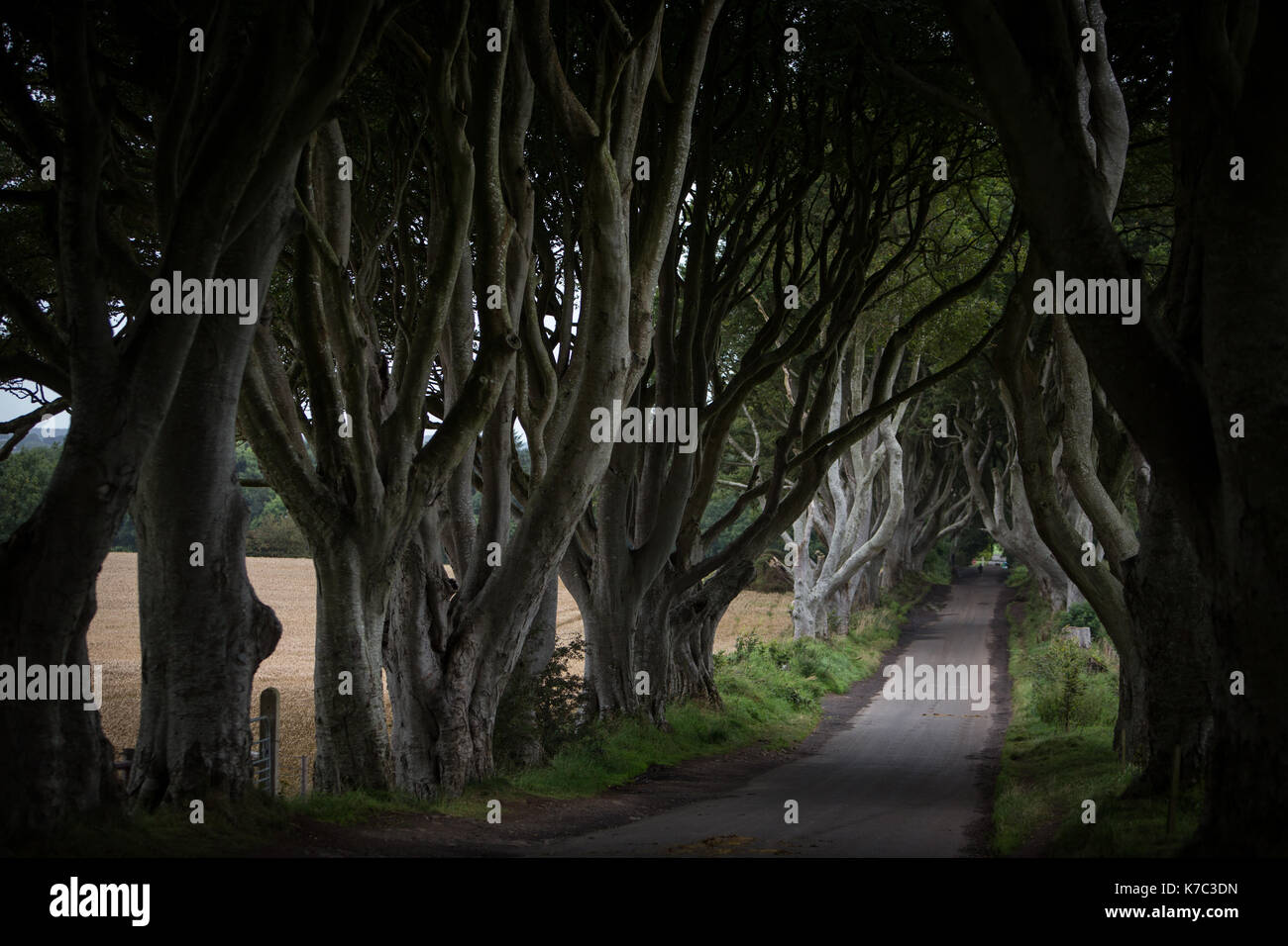 The Dark Hedges, known as the 'King's Road' location in the HBO's TV series Game of Thrones, in Stranocum, in Northern Ireland, on 15 September 2017. - Stock Image