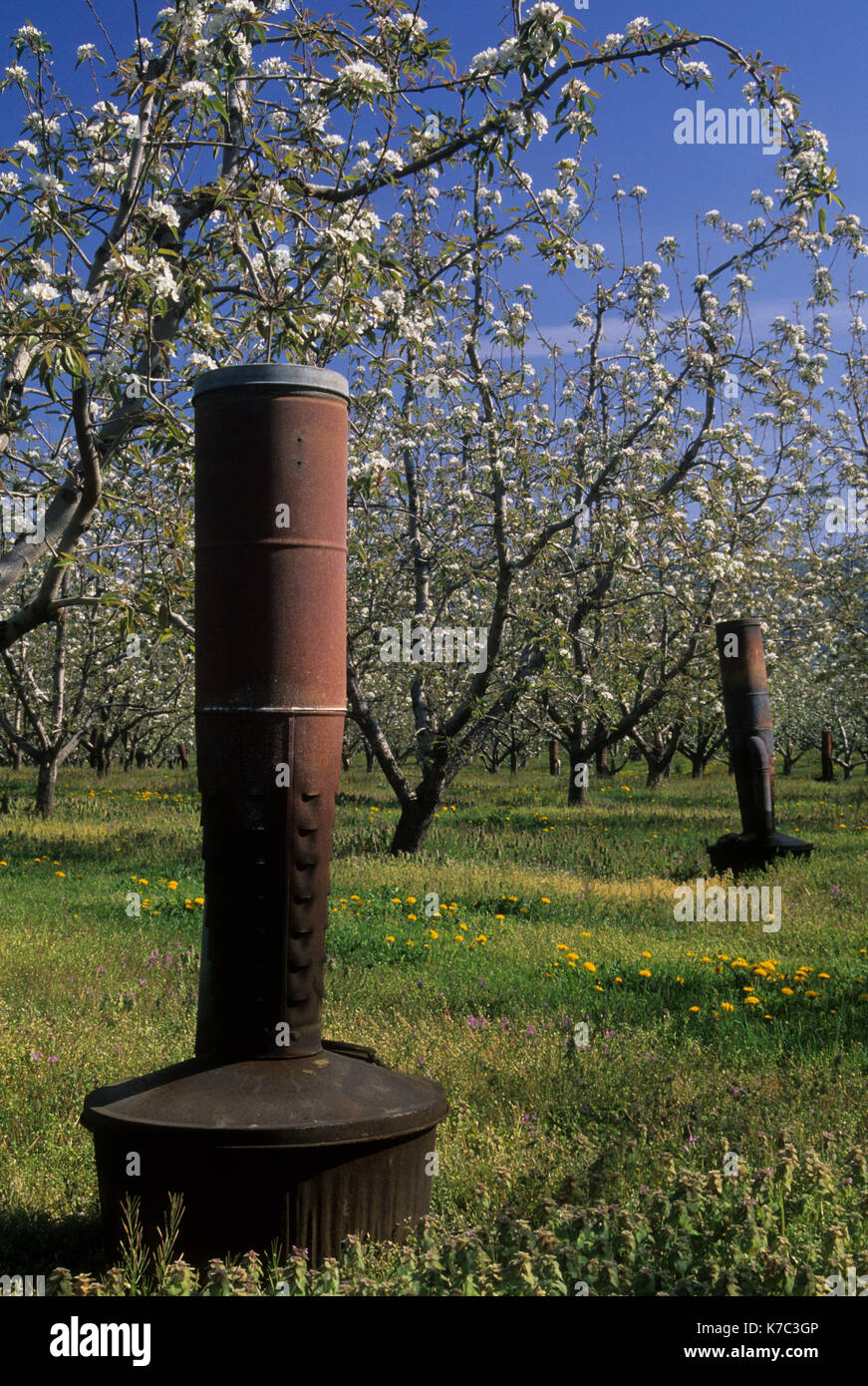 Pear orchard in bloom with smudge pot, Hood River County, Oregon - Stock Image