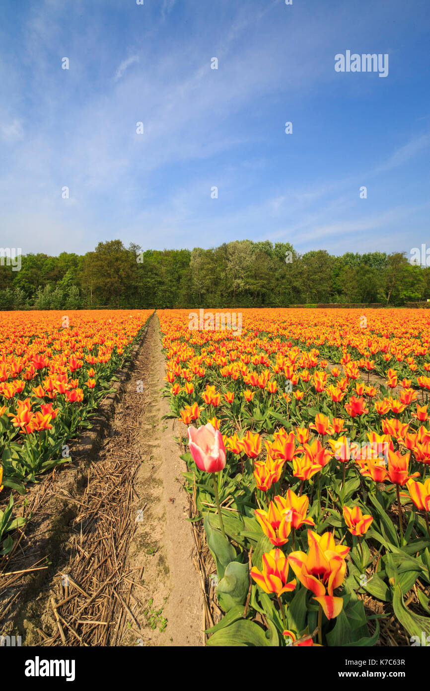View of the colorful fields of tulips in spring Keukenhof Park Lisse South Holland Netherlands Europe Stock Photo