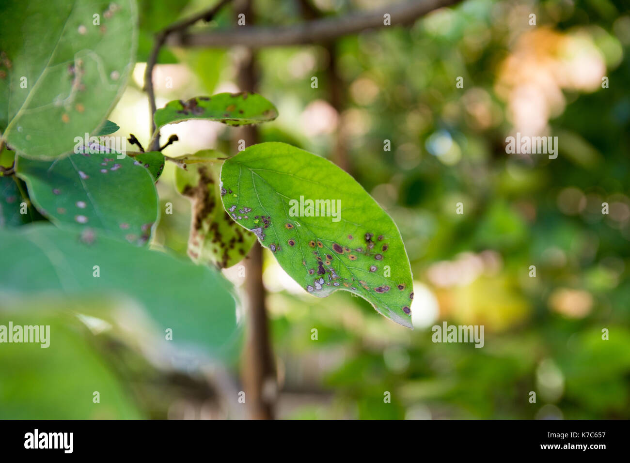 Quince leaf blight close-up. Cydonia oblonga affected by diplocarpon mespili. Dark spots on foliage, leaf spot disease. - Stock Image
