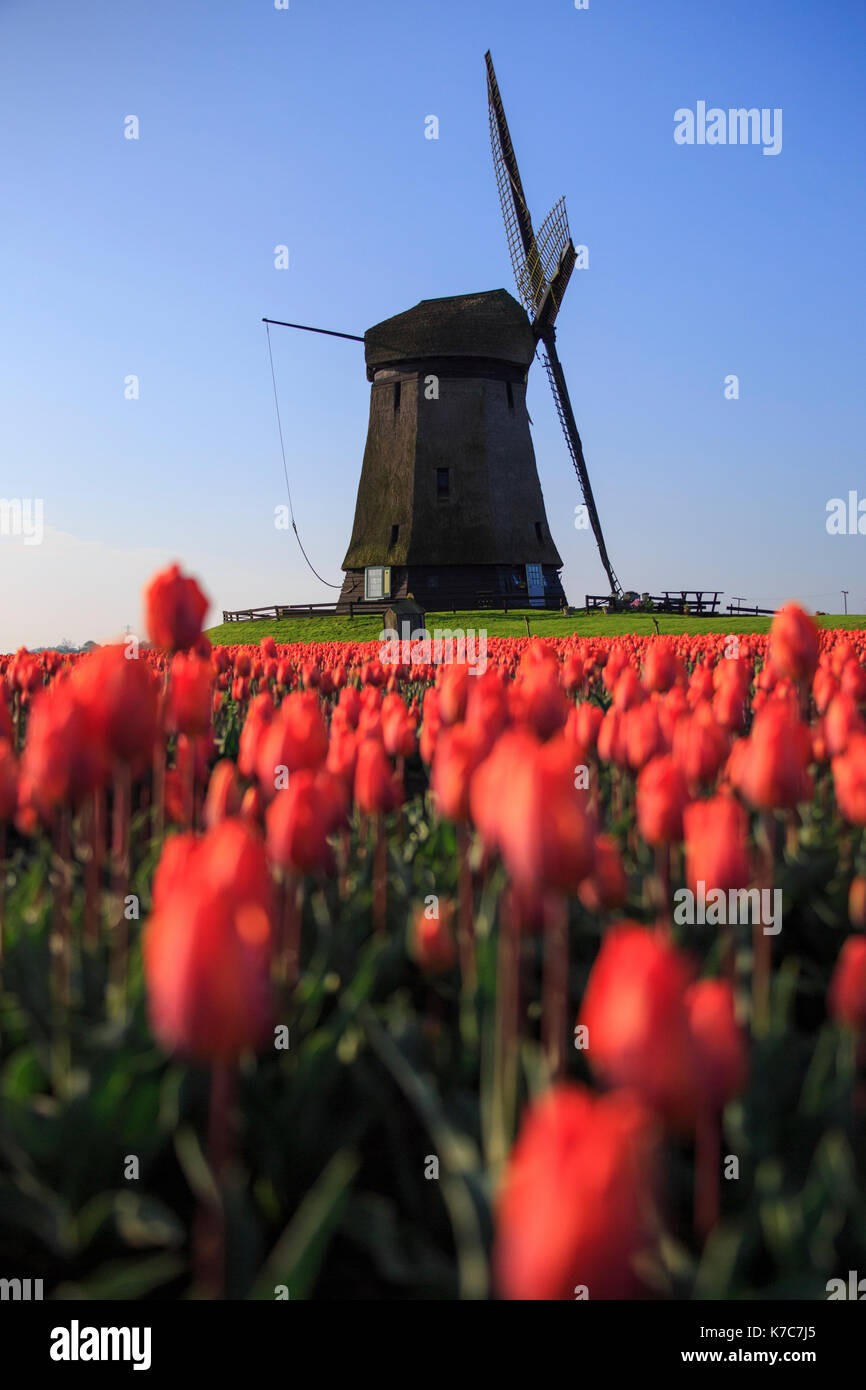 Red tulips in foreground and blue sky frame the windmill in spring Berkmeer Koggenland North Holland Netherlands Europe - Stock Image