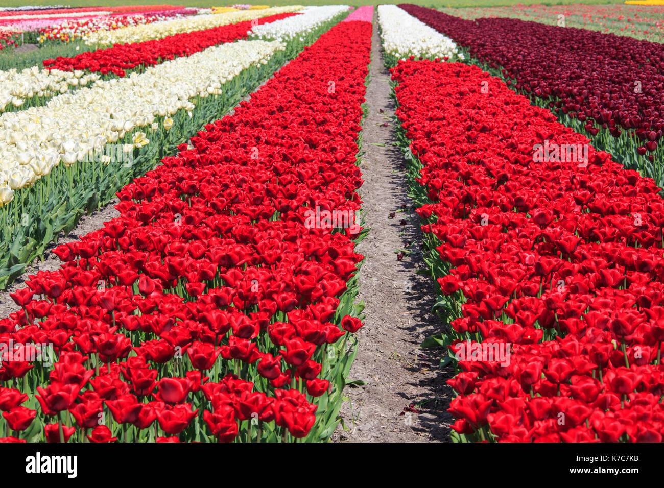 Colorful tulip fields in spring Berkmeer Koggenland North Holland Netherlands Europe - Stock Image