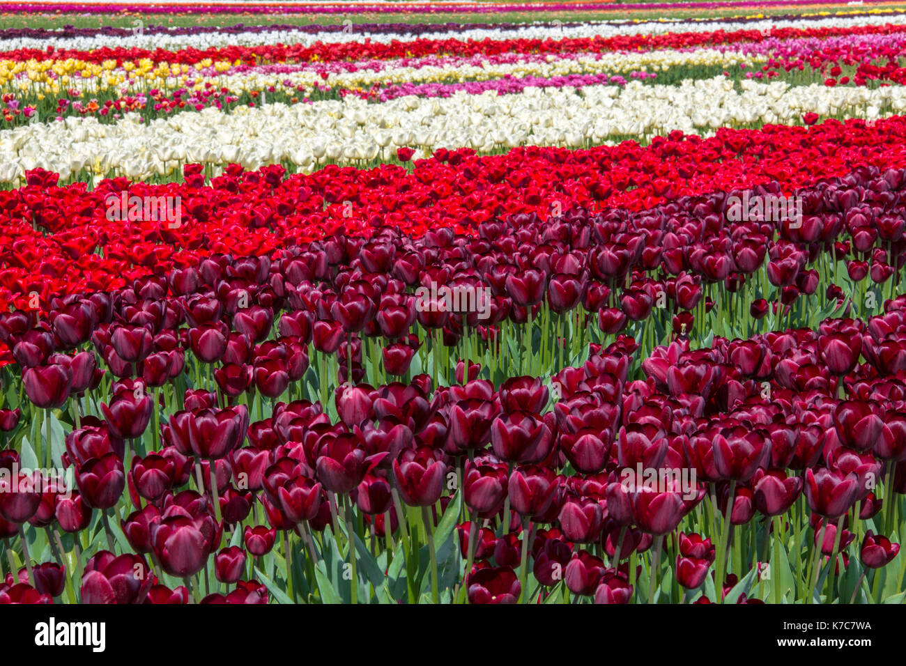 Colorful tulips fields in spring Berkmeer Koggenland North Holland Netherlands Europe - Stock Image