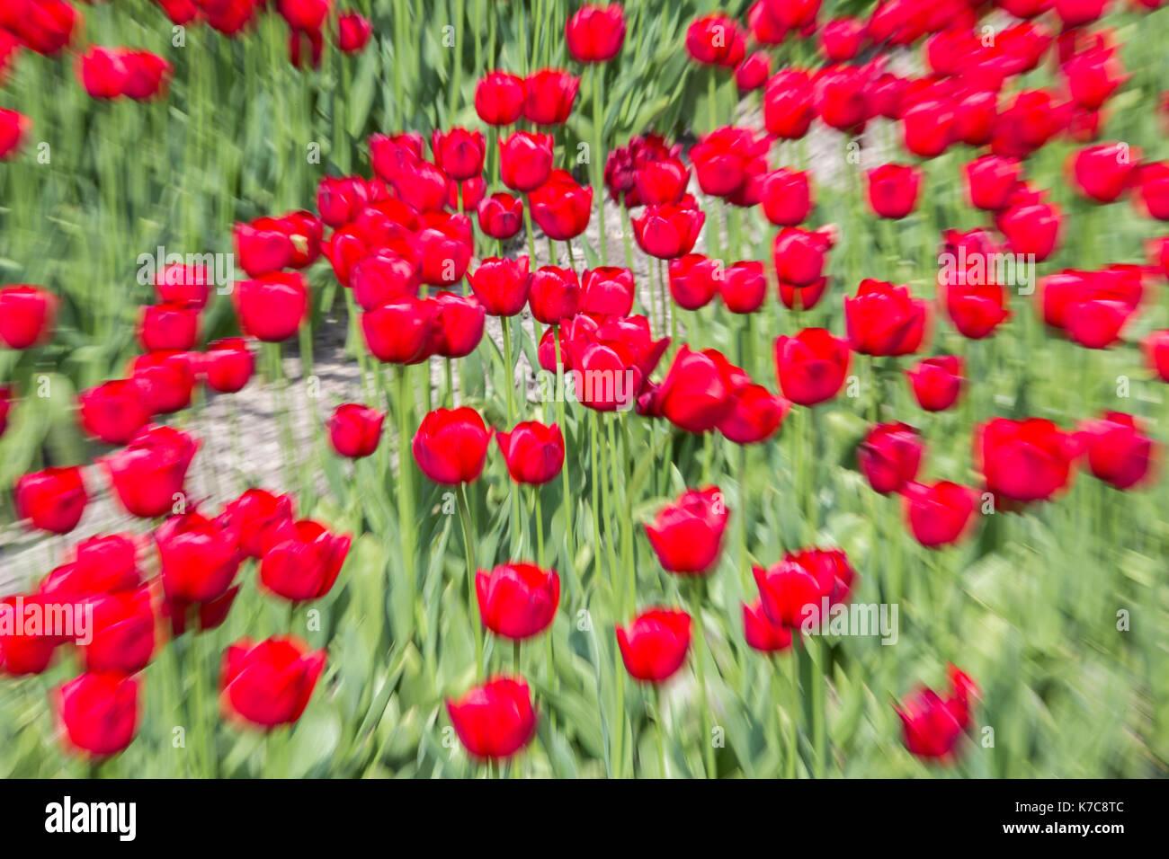 Red tulip fields in spring Berkmeer Koggenland North Holland Netherlands Europe - Stock Image
