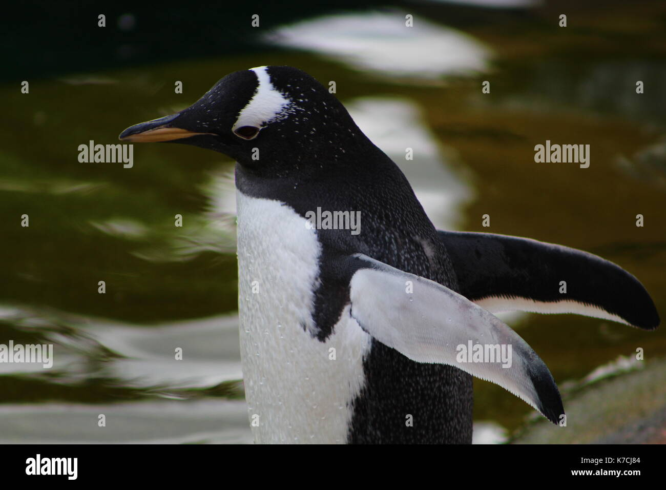Gentoo penguin spreading wings - Stock Image
