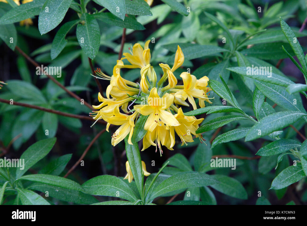 Yellow rhododendron flowers, in Lesvos island, Greece. - Stock Image