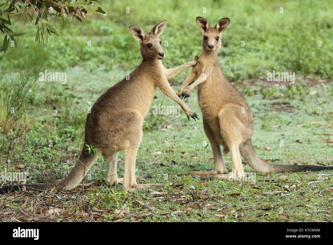 A pair of Eastern Grey Kangaroos pausing during a sparring match in eastern Australia. - Stock Image