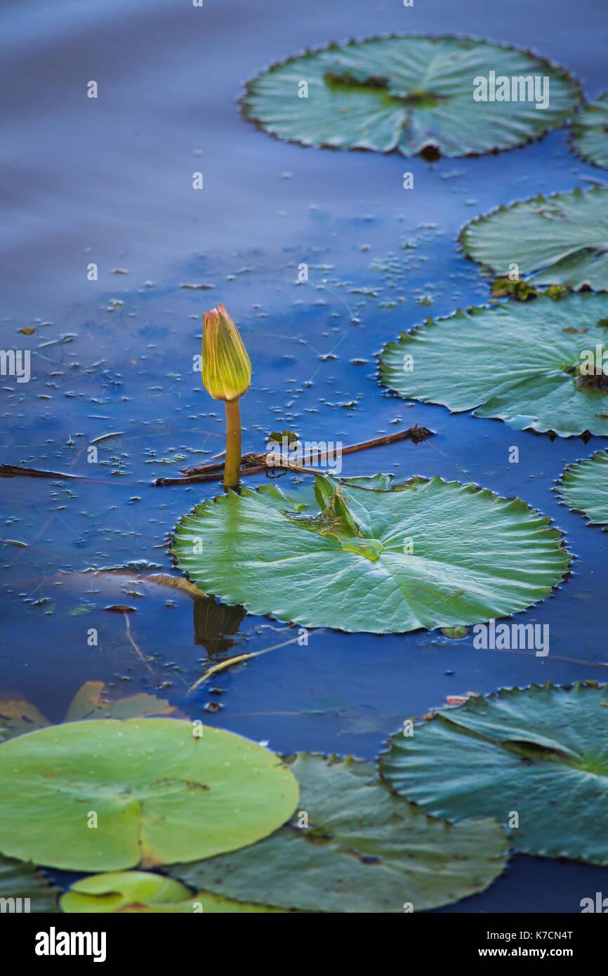 Green Lilypad Stock Photos & Green Lilypad Stock Images - Alamy