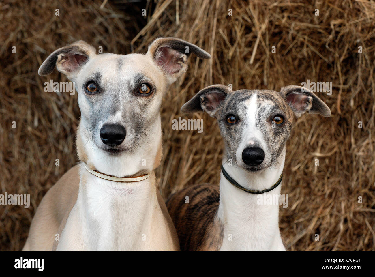 Two whippets or dogs looking cute and directly at the camera. Funny, comical, humourous canine or pooches with ears sticking out and wide eyed. - Stock Image