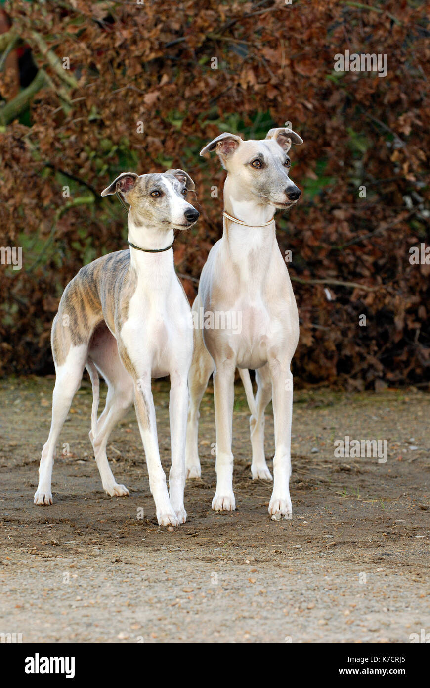 Two whippets dogs standing in front of a hedge with autumn colours looking at something preoccupied and funny humourous stance or demeanour. - Stock Image