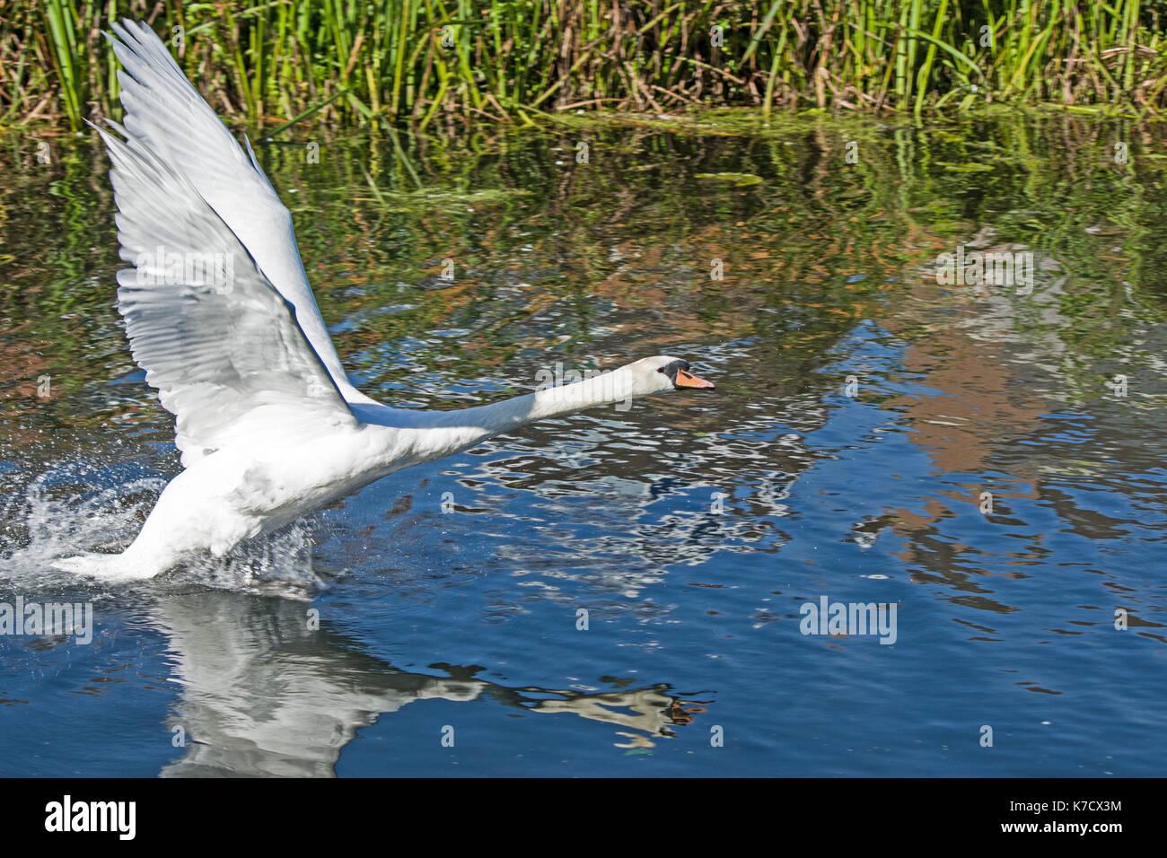 Swan Taking off Stock Photo