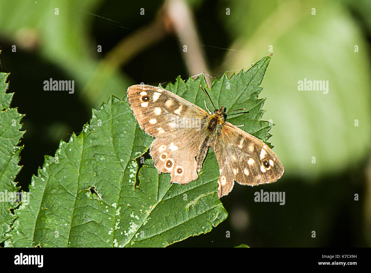 Male Speckled Wood - Stock Image