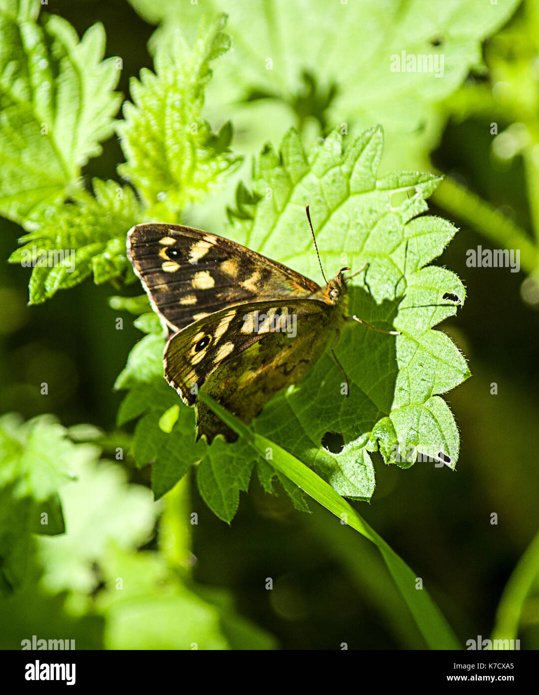 Male Speckled Wood Butterfly - Stock Image