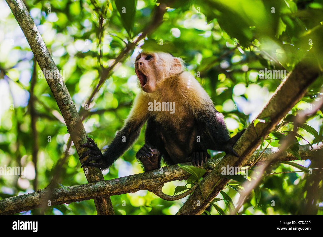 Low angle view of Wild capuchin monkey yawning while sitting on branch - Stock Image
